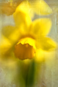 Daffodil | Photo Wall Art