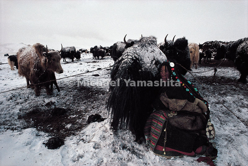 As impervious to the bitter cold as her ice-encrusted yaks, a woman in Qinghai, China milks a dri, a female yak. With a hundred yaks, this family is considered prosperous in a culture that counts wealth by the size of a man's herd.