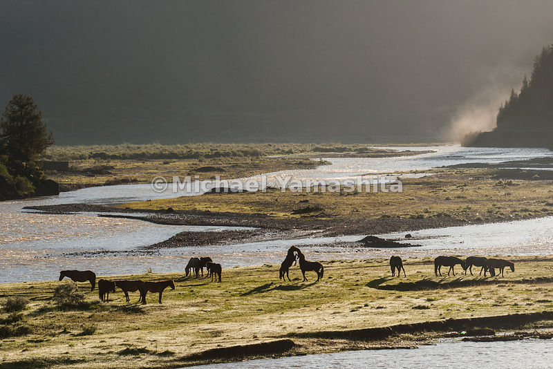 Once a common sight, it is now rare to see herds of Tibetan horses on the grasslands of the plateau.