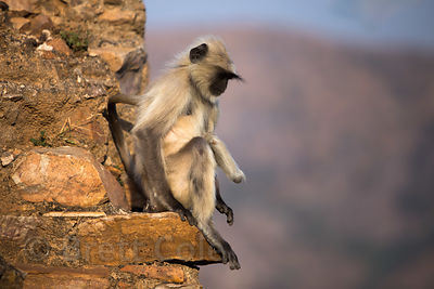 Juvenile Langur monkey with an amputated hand at Taragarh Fort, Ajmer, Rajasthan, India