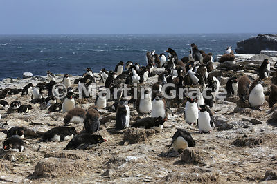 Southern Rockhopper Penguin (Eudyptes chrysocome chrysocome) colony, Sea Lion Island, Falkland Islands