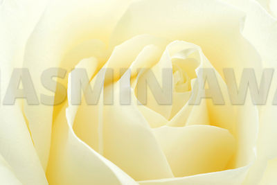 Beautiful White Rose close up..Shallow DOF