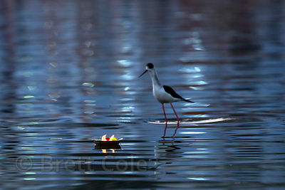 Stilt (sp.) (the bird species) and floating oil lamp on Pushkar lake, Pushkar, Rajasthan, India