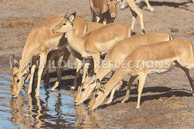 impala_group_drinking_gently