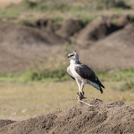 Martial Eagle wildlife photos