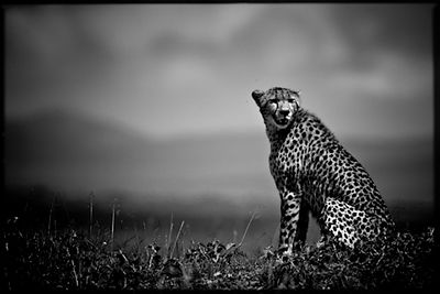 Cheetah seated in the plain, Kenya © Laurent Baheux