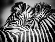 3433-Combed_zebras_Laurent_Baheux