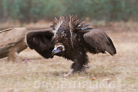 Eurasian Black Vulture Aegypius monachus in aggressive posture approaching food and other vultures San Pedro Sierra Extremadura Spain December