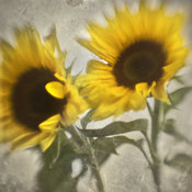 Botanical Sunflower Art | Flower Photograph