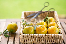 garden table with clementines in basket with vintage scissors