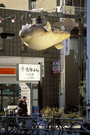 A giant reproduction of a puffer-fish (fugu in Japanese) hangs over a street in Kinshicho, Tokyo, to advertise a fugu restaurant. One of the world's most expensive foods, the flesh of the fugu is a national delicacy, and meals in a speciality restaurant can cost a few hundred dollars. Fugu eating also carries a risk of poisoning, as the liver and the sexual organs of the female conatin tetrodotoxin (TTX), a toxin 250 times more deadly than cyanide, weight for weight. There is no antidote, and each year, despite elaborate precautions that include licensing fugu chefs, a few people die. RECIPES AVAILABLE.