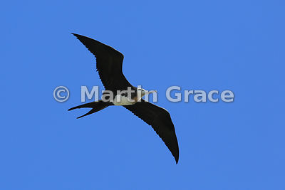 Great Frigatebird juvenile (Fregata minor ridgwayi) in flight, Darwin Beach, Genovesa, Galapagos Islands