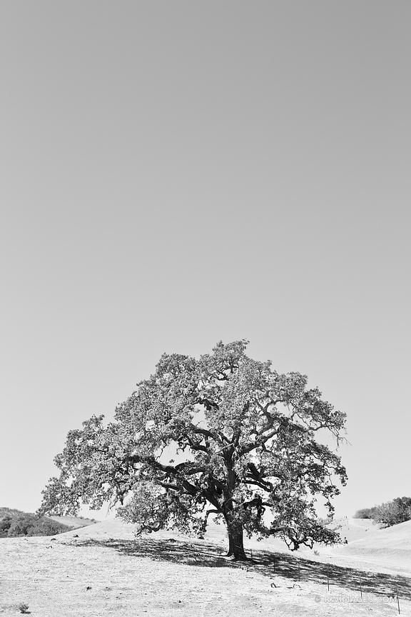 OAK TREE HILL SANTA YNEZ VALLEY SANTA BARBARA COUNTY BLACK AND WHITE VERTICAL