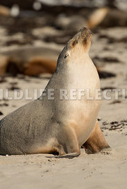 sea_lion_australian_profile_look_up-6