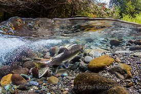 Pink Salmon on Spawning Grounds in the Dungeness River in Olympic National Forest