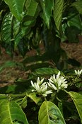 Close up of white flowers growing on Coffee plant Uganda Africa  (Coffea arabica)