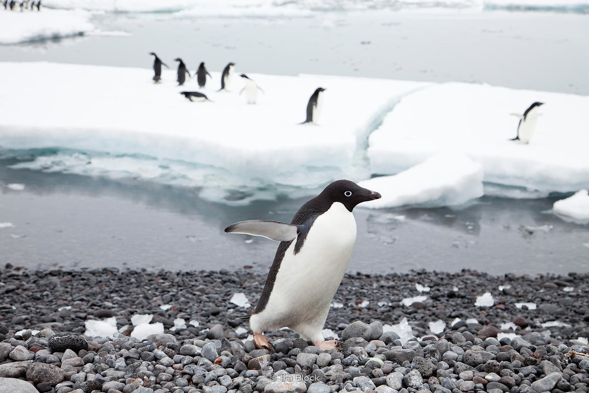 An adelie penguin walking on rocky beach at the Antractic Peninsula.