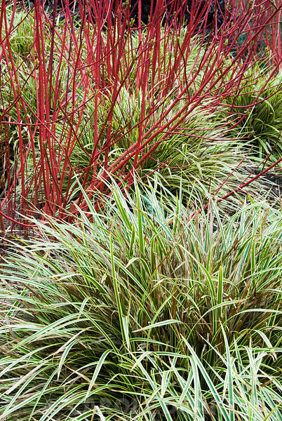 Variegated Carex morrowii 'Fisher's Form' below red stems of Cornus alba 'Sibirica'. The Sir Harold Hillier Gardens/Hampshire County Council, Romsey, Hants, UK