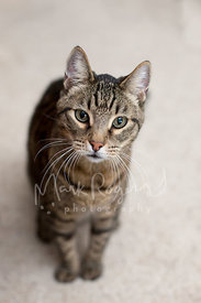 Striped tabby cat looking up