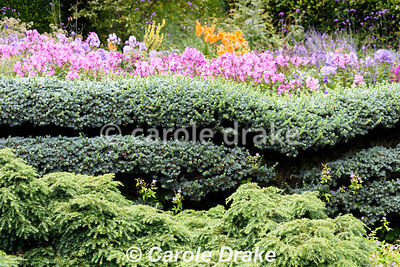 Espaliered cedar trained against a wall with colourful phlox and lilies in the Canal Garden behind at York Gate Garden, Adel in July