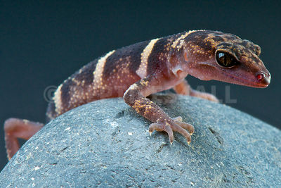 Kume ground gecko (Goniurosaurus yamashinae) photos