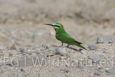 Blue-cheeked bee-eater/Blåkinnbieter - UAE