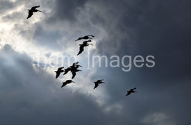 Fflying pelicans silhouette on a cloudy day