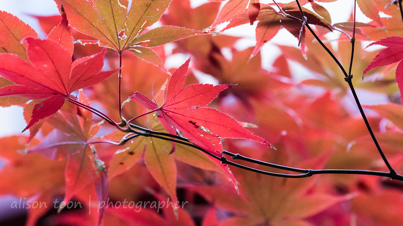 HR-JapaneseMaple-Fall-9774