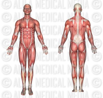 alila medical media | general anatomy, Muscles