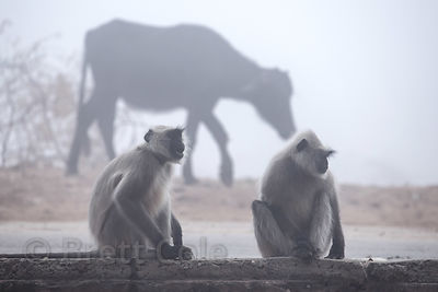 Langur monkeys and cows in early morning fog near Savitri temple, Pushkar, Rajasthan, India