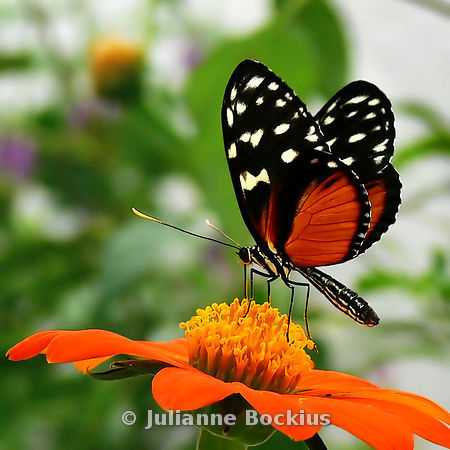 Hecale Butterfly on Mexican Sunflower