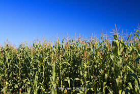 Tall stalks of corn