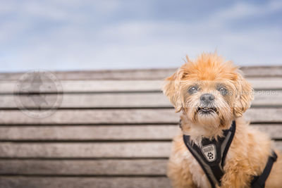 sweet scruffy little dog staring from park bench with minimal background