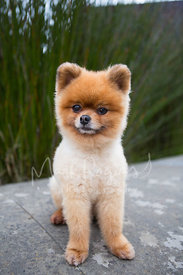 smiling-pomeranian-dog-sitting-stock-photo