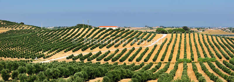 Olive groves in Santarém. Portugal