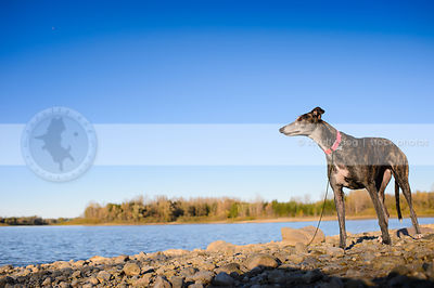 brindle greyhound dog standing on lake shore beach with sky