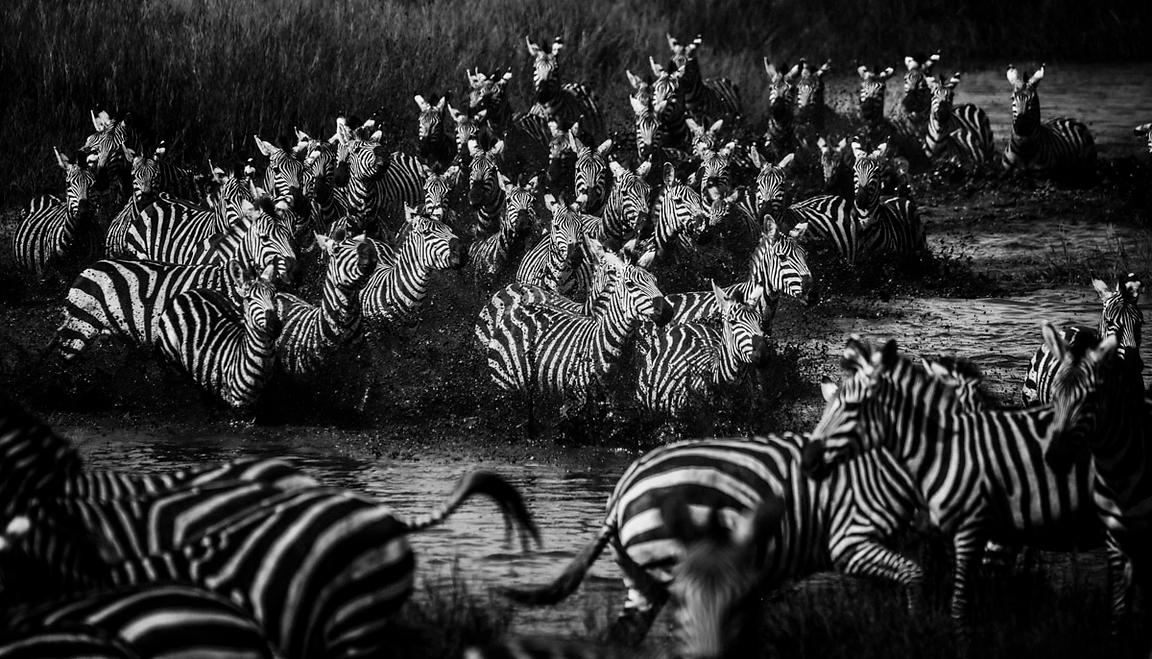3927-Zebras_crossing_the_river_Tanzania_2015_Laurent_Baheux