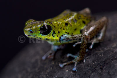 "Green strawberry dart frog (Oophaga pumilio) ""Chiriqui Verde"" photos"