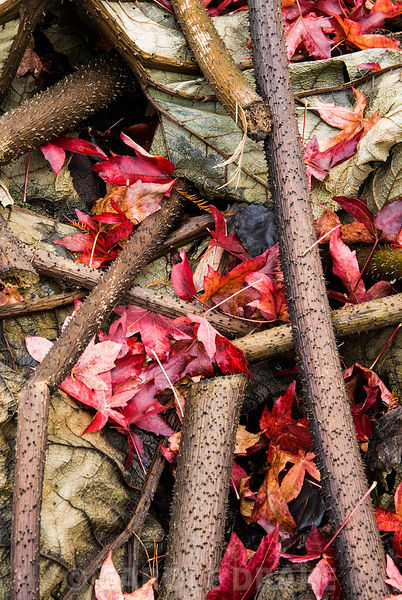Leaves of Gunnera manicata are cut and placed over the crowns of the plants to protect them through winter, here enlivened by the red starry fallen leaves of Liquidambar styraciflua 'Palo Alto'. The Sir Harold Hillier Gardens/Hampshire County Council, Romsey, Hants, UK