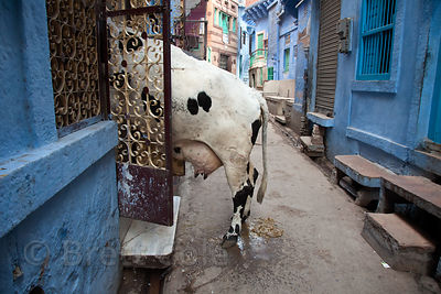 A cow tries to enter a house on a sidestreet in Jodhpur, Rajasthan, India