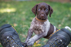 German Shorthaired pointer puppy on pair of shoes