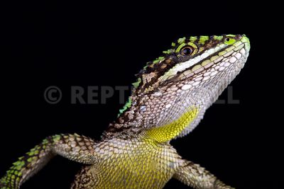 Chinese tree dragon (Japalura splendida) photos