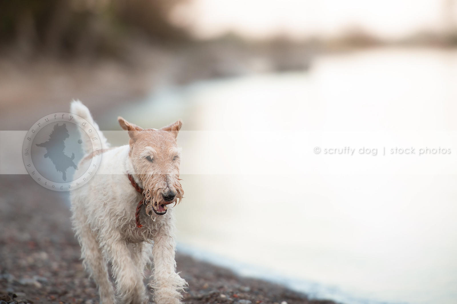 wet wirehaired fox terrier running on beach