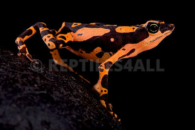 Stumpfoot toad (Atelopus hoogmoedi) photos