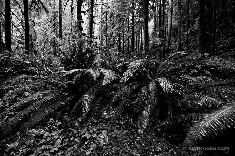 RAINFOREST MOSSY TREES FERNS MARYMERE FALLS TRAIL OLYMPIC NATIONAL PARK WASHINGTON BLACK AND WHITE