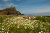 Wildflowers at the Giants Causeway coastline. Northern Ireland.