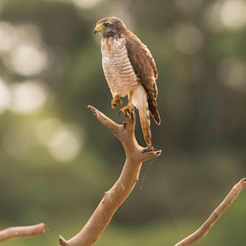 Roadside Hawk wildlife photos