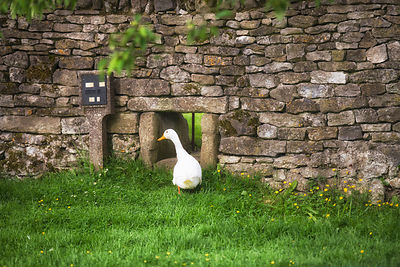 Not strictly in my garden but 20 yards down the road are my village ducks - this is the hole they use to go back into their home at night and always a pleasure to watch them waddle in...