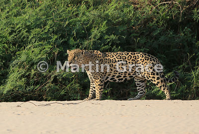Male Jaguar 'Hero' (Panthera onca) stands and observes from the top of the beach, Three Brothers River, Northern Pantanal, Mato Grosso, Brazil. Image 32 of 62; elapsed time 40mins