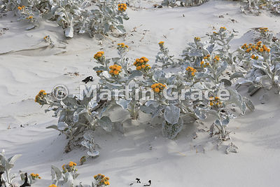 Yellow Sea Cabbage (Senecio candidans), Cliff Point Bay, Saunders Island, Falkland Islands